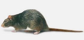 exterminer les rats exterminateur montr al laval rive sud biz exterminateur gestion. Black Bedroom Furniture Sets. Home Design Ideas