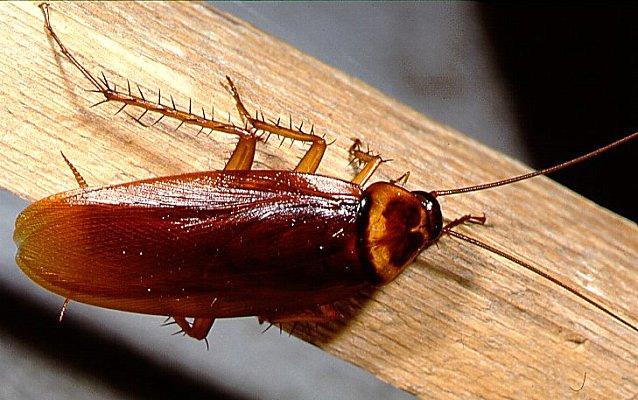 Liminer les blattes de fa on efficace biz exterminateur - Eliminer les cafards ...